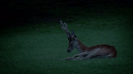 çimenli : Deer Resting In The Grass In The Evening