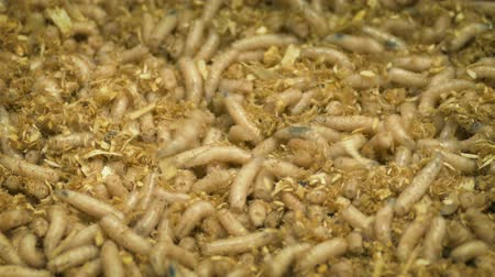 asticot : Articles de pêche Maggots Moving Around