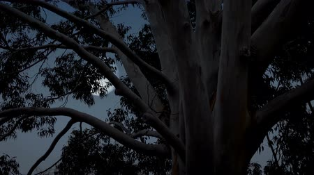 eukaliptus : Moon Behind Eucalyptus Tree In The Outback