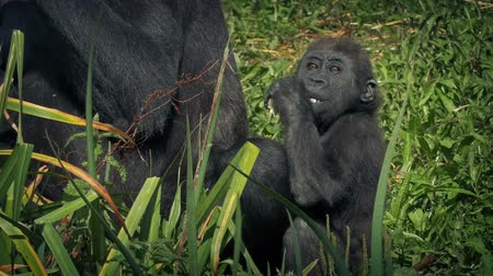 gorillas : Baby Gorilla By Mother Eating Foliage