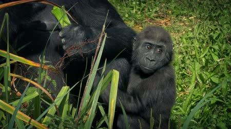 gorillas : Baby Gorilla Clings To Mother