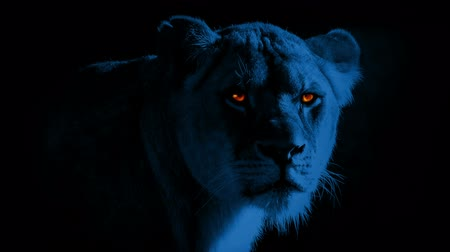 gato selvagem : Lioness With Burning Bright Eyes At Night