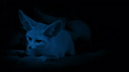 hides : Cave Fox Listens For Danger In The Dark