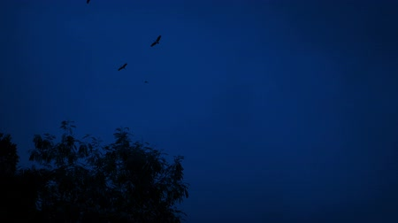 vulture : Birds Circling Above Trees At Night Stock Footage