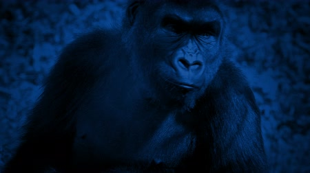 жевать : Gorilla Looking Around And Walking Off At Night