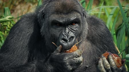 жевать : Female Gorilla Eating Coconut Стоковые видеозаписи