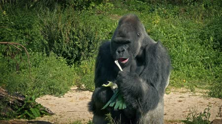 gorillas : Gorilla Eating Vegetable At The Zoo