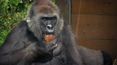 gorillas : Gorilla Eating Coconut At The Zoo