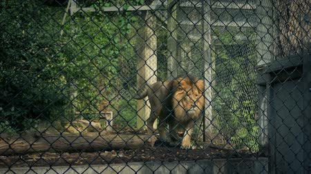 recinto : Lion Pacing Up And Down Cage