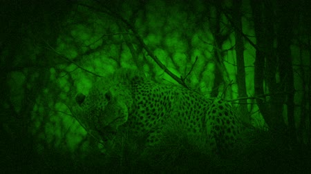 cheeta : Nightvision Cheetah Crouching And Prowling