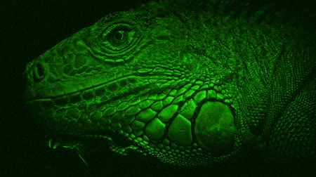 reptile : Night Vision View Of Lizard Closeup Stock Footage