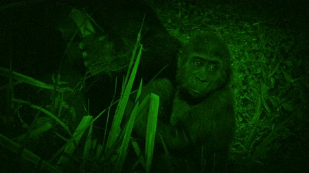 gorillas : Night Vision View Of Baby Gorilla Stock Footage