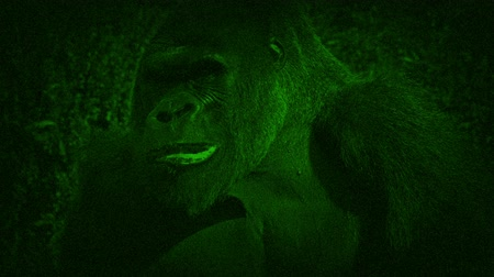 termal : Night Vision View Of Gorilla Eating Plants
