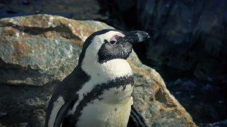 pinguim : Penguin Looks Around And Hops Stock Footage
