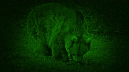 dead forest : Night Vision Bear Eating