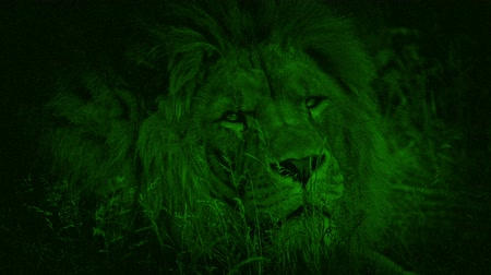 egemen : Night Vision Lion Turns And Looks At Camera Stok Video