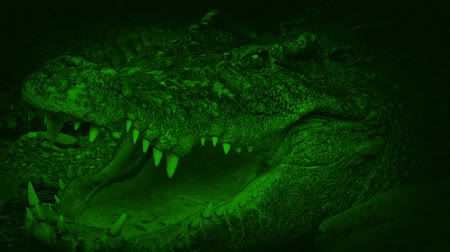 divoký : Nightvision Big Crocodile Opens Mouth