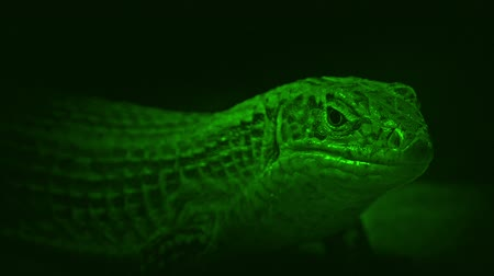 hides : Nightvision Shot Of Cave Lizard