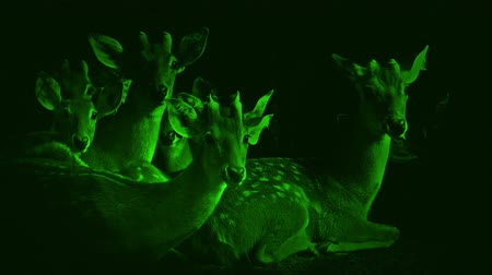 oprapen : Nightvision Group Of Deer Look Up