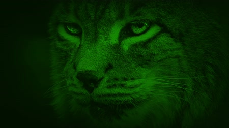 panthers : Nightvision Lynx Wild Cat
