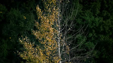 проливая : Golden Leaves Blowing Off Half Bare Tree In Fall