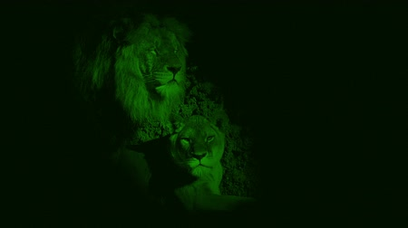 esposas : Nightvision Leones en cueva Archivo de Video