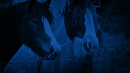 пони : Horses In The Field At Night Стоковые видеозаписи
