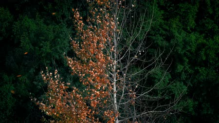 spousta : Leaves Blowing Off Tree In Autumn