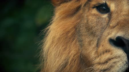 savage : King Of The Jungle Lion Looks Up