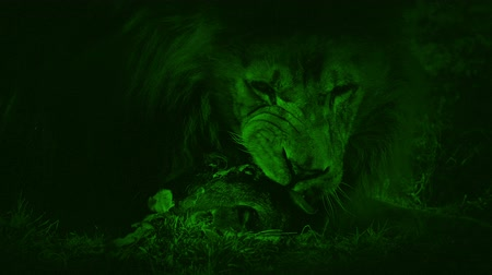 gato selvagem : Nightvision Lion Eating Dead Animal