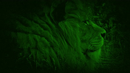 juba : Nightvision Lion In The Grass