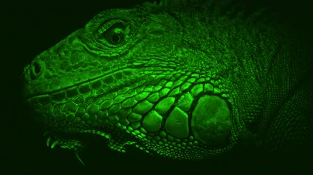 detalhado : Nightvision Lizard Looking Around Closeup
