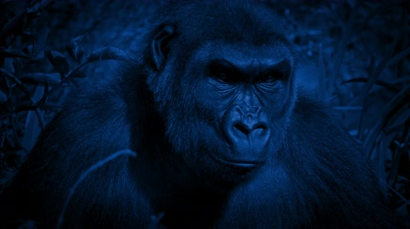 жевать : Gorilla Looks Around Jungle On Windy Night