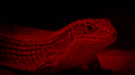jaszczurka : Lizard Resting Under Heat Lamp