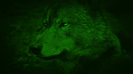 lobo : Night Vision View Of Timber Wolf