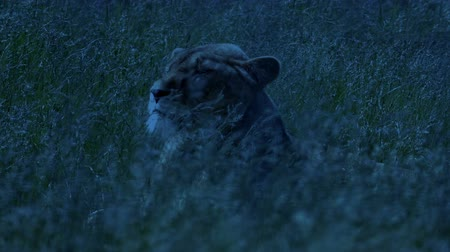 pláně : Lion Turns Around In Swaying Grass At Dusk