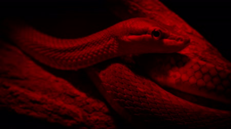 cobra : Snake In Heat Lamp