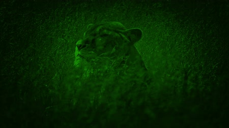 gramíneo : Lion Turns Around In Swaying Long Grass