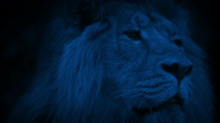 animals in the wild : Lion In The Jungle At Night Stock Footage
