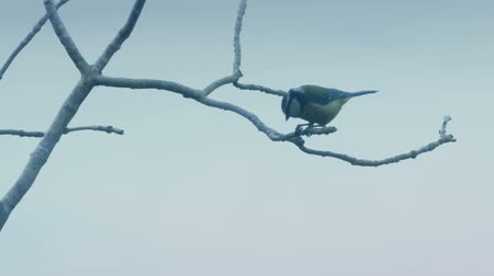 besleyici : Blue Tit Eating On Branch And Flying Off