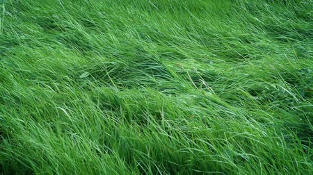 padok : Wild Grass In The Wind