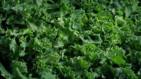Freshly Picked Kale Superfood Vegetable Stok Video