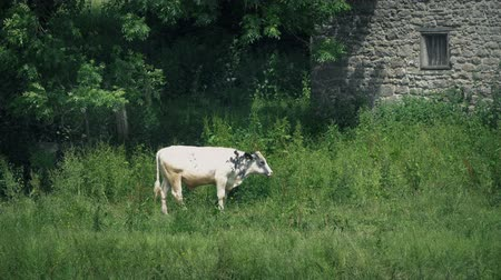 Cow Grazes By Barn On Summer Day