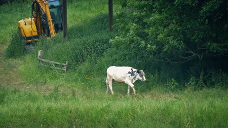 Cow Walks Past In Field With Farm Machine