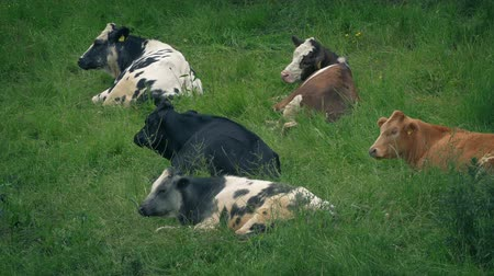 cow eats : Cows Resting In Grassy Field