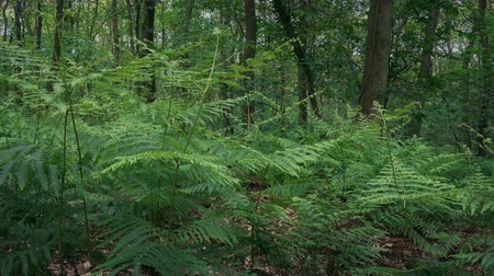 woodland : Passing Ferns In The Woods