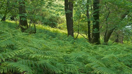 kapradina : Summer Woodland With Carpet Of Ferns