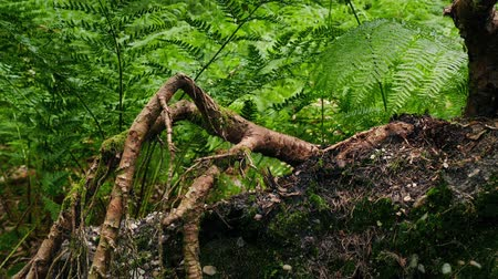 vystavený : Passing Roots And Ferns In The Woods