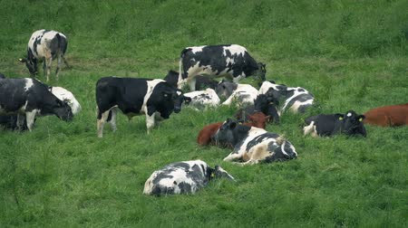 fed : Many Cows Lying In The Field