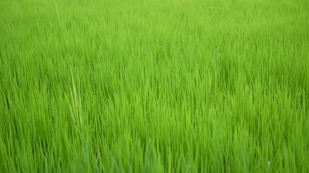 brown rice : Dolly slider fresh green rice plant in the rice field farm
